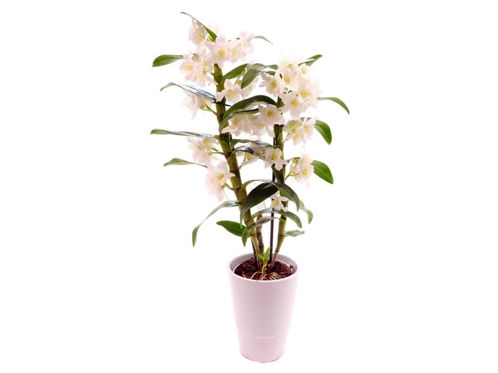 Le Dendrobium somptueuse Orchidées