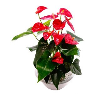 cultiver son anthurium