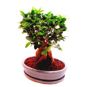 "Le ficus ""ginsen"""