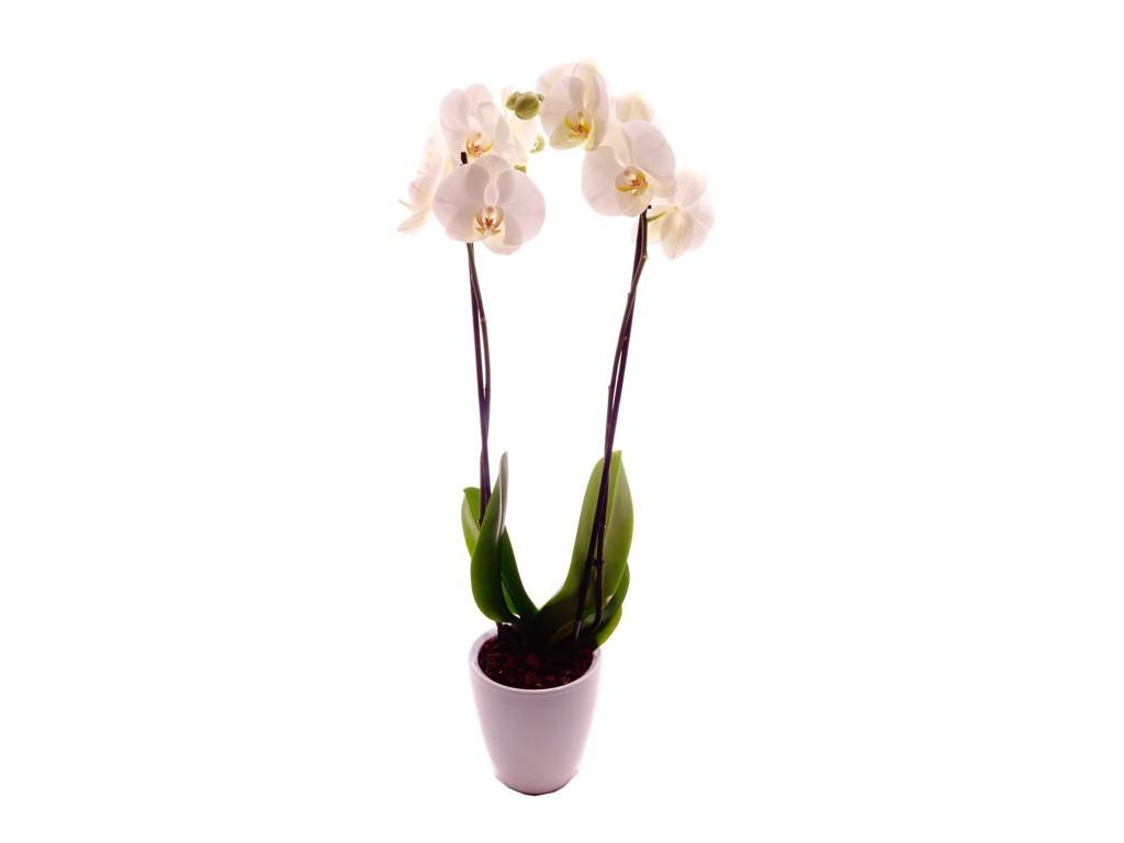 petit prix orchidées