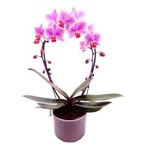 Orchidée de couleur rose