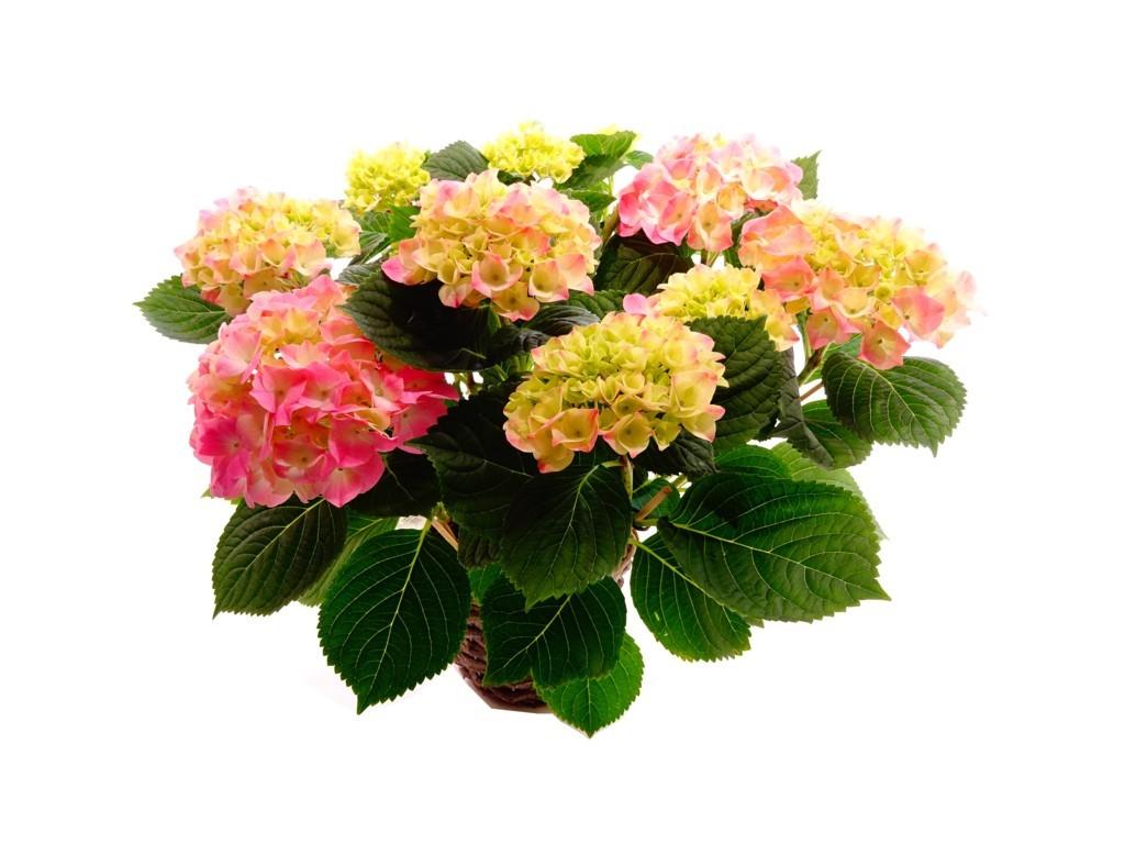 Hortensia plante fleurie