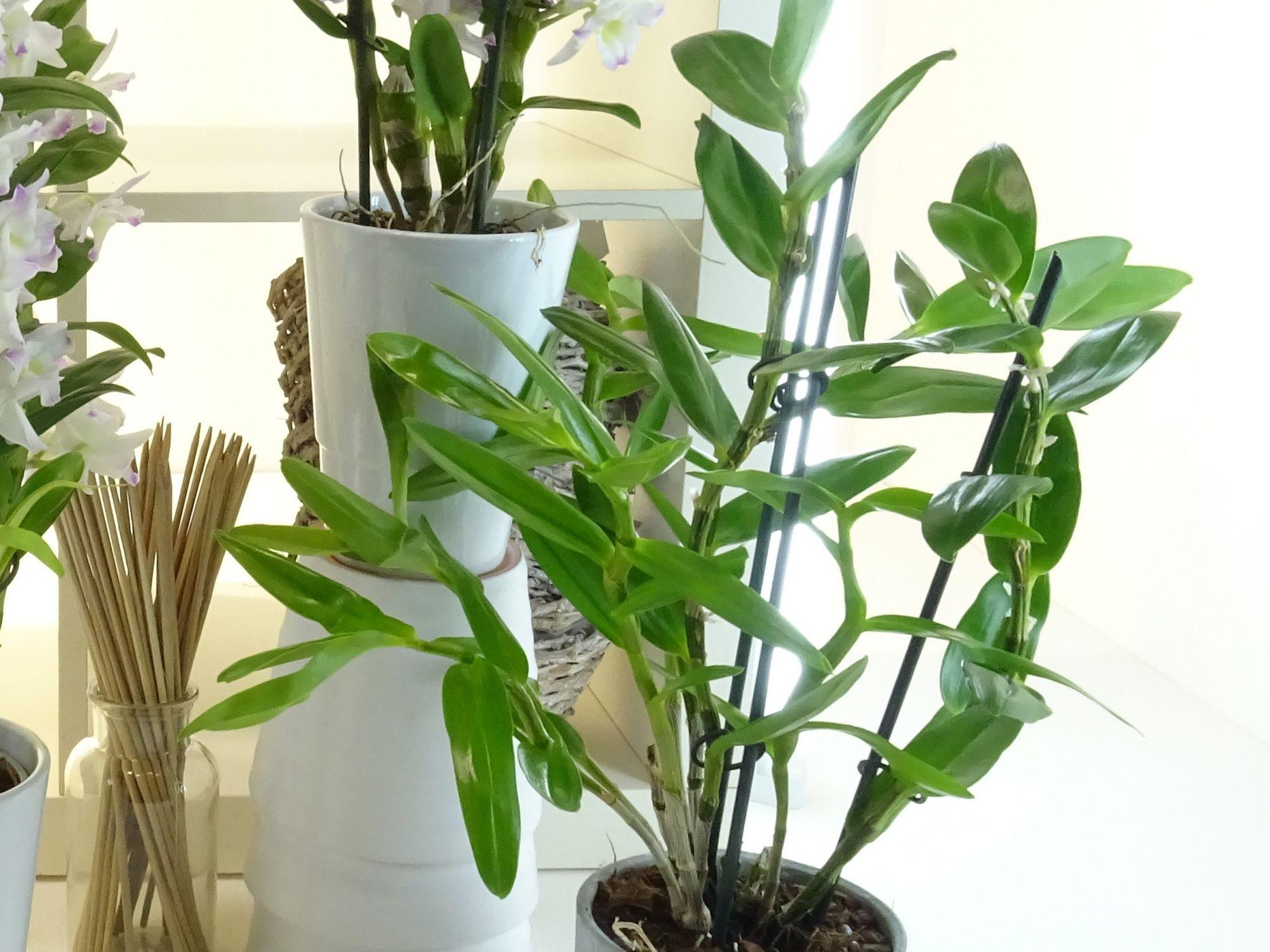 Le Dendrobium somptueuse orchidée