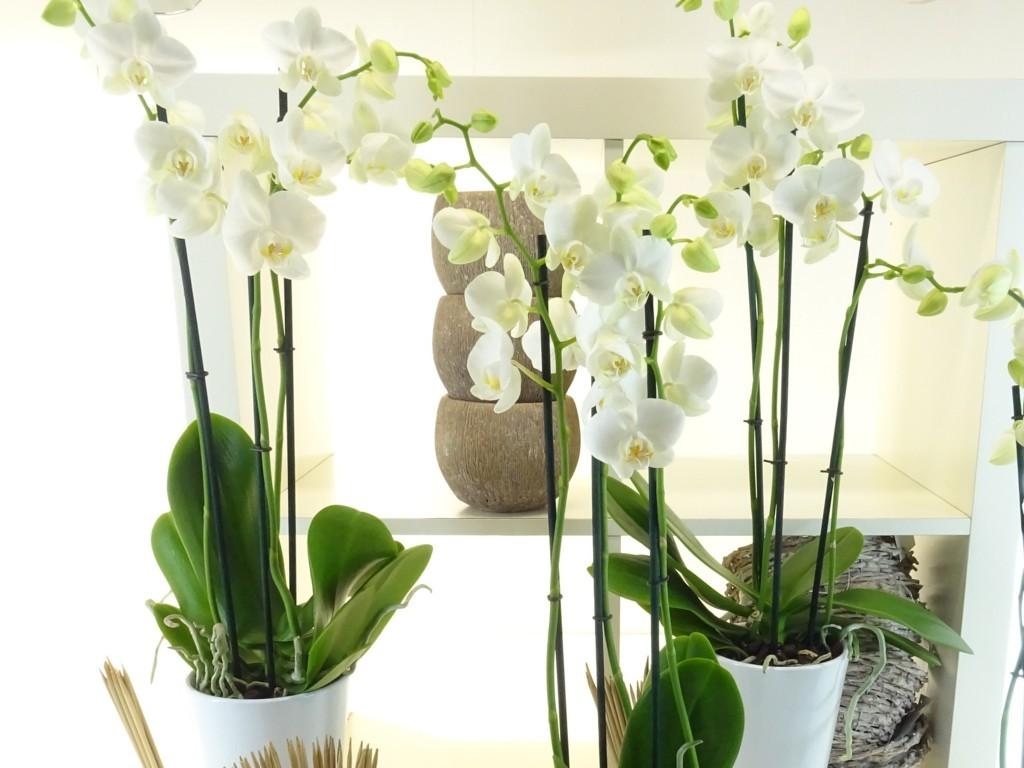 Cultiver son orchidée