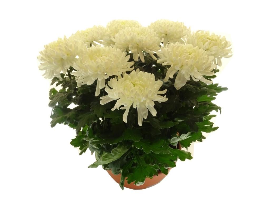 Coupe de chrysanthème blanche