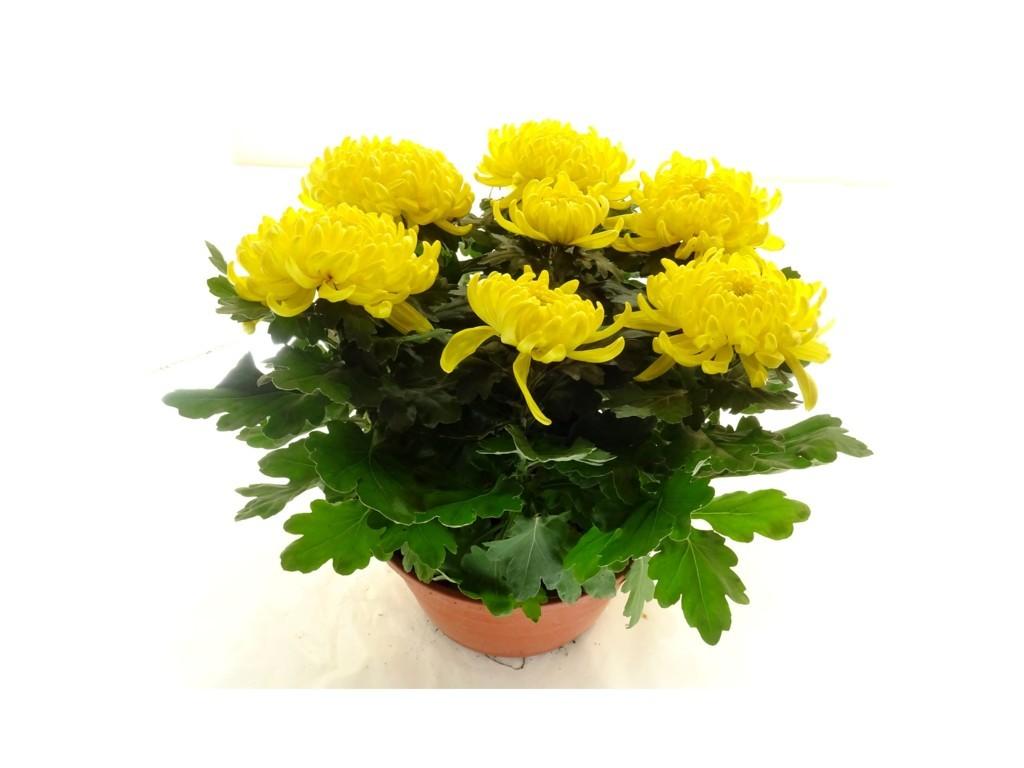 Coupe de chrysanthème jaune