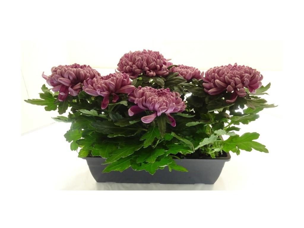 Jardinière de chrysanthème mauve