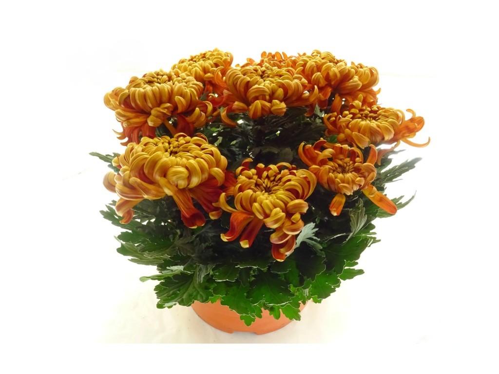 Coupe de chrysanthème rouille 9 têtes