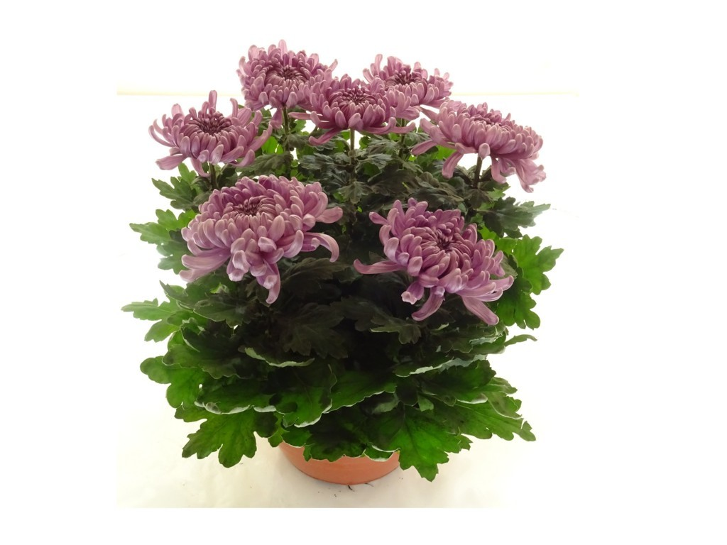 Coupe de chrysanthème mauve