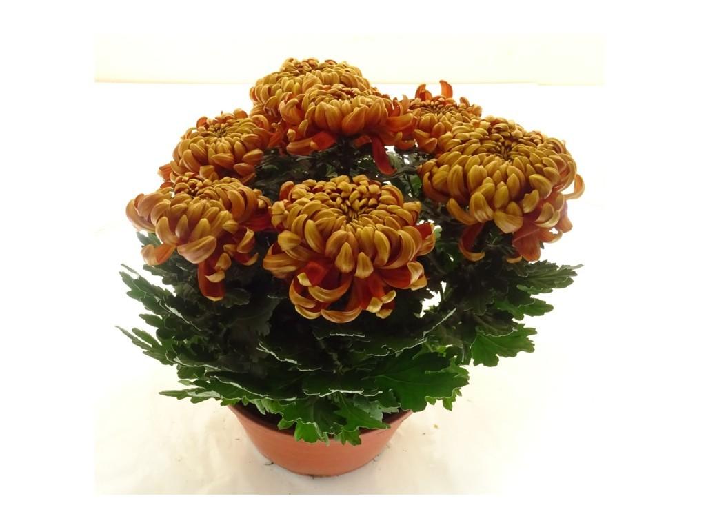 Coupe de chrysanthème rouille