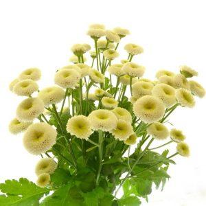 Matricaire fleur blanche