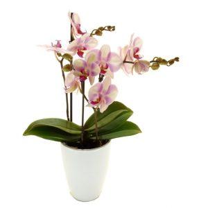 """L'orchidée """"phalaénopsis"""""""