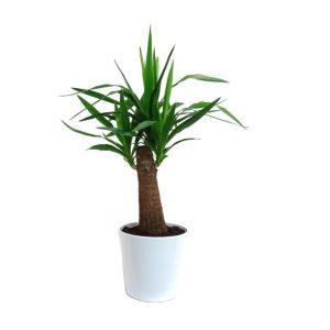 Le yucca