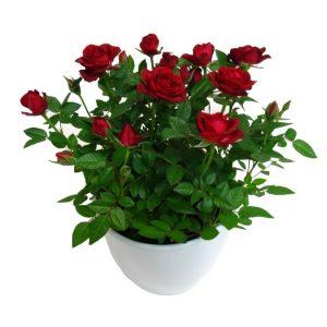 Le rosier