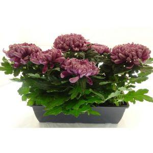 Jardinière de chrysanthème